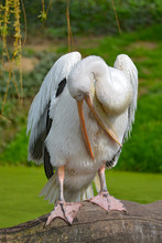 White Pelican (Pelecanus Onocrotalus) Sperched On Branch And The Open Beak Seen From Front
