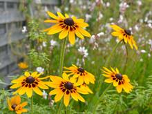 Closeup Of Yellow Coneflowers ...