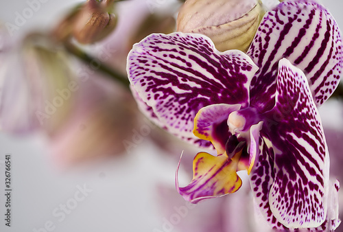 Fototapeta Close-up of an orchid in mauve, yellow and green tones with unfocused branches in the background obraz