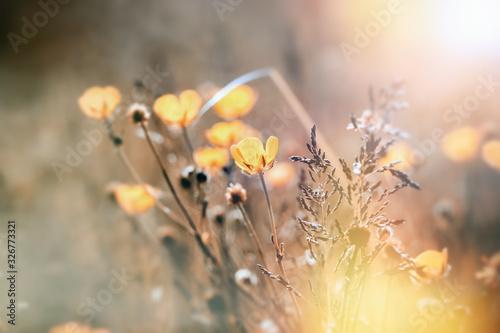Fototapety, obrazy: Flowering yellow flower, buttercup flower lit by sunlight