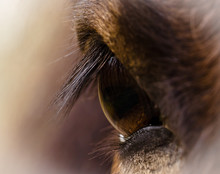 The Brown Eye Of A Brown Horse...