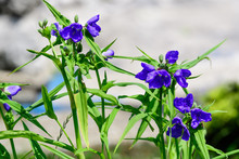 Close Up Of Many Small Blue Flowers And Green Leaves Of Tradescantia Virginiana Plant, Commonly Known As Virginia Spiderwort Or Bluejacket In A Sunny Summer Garden,  Beautiful Outdoor Floral Backgroun
