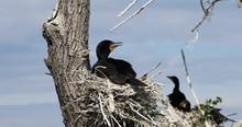 Double-crested Cormorant Phala...