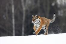 Siberian Tiger Run. Beautiful,...