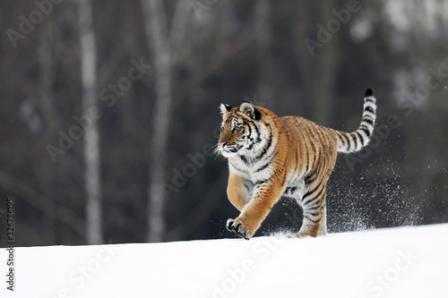Photo Siberian Tiger run