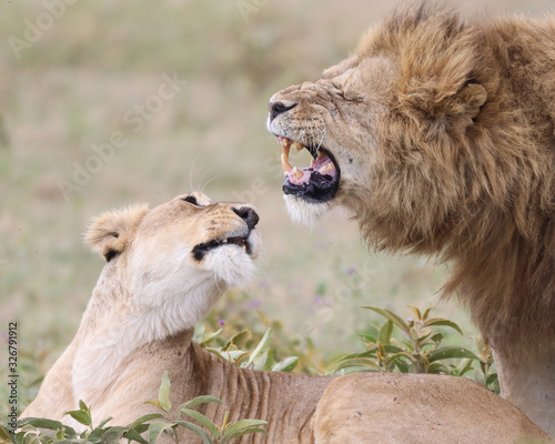 Photo Two lions adoring each other in Africa