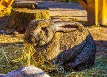 Closeup Of A Big Brown European Rabbit Eating Hay, Popular Domesticated Bunny Specie