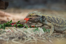 Central Bearded Dragon Eating ...