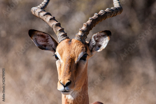 Impala Antelope in the Kruger National Park, South Africa
