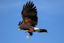 Harris Hawk In Flight Against ...