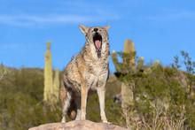 Coyote Yawning In Sonoran Desert, Arizona