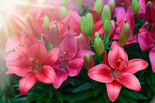 Deep Red Lilies Floral. Lilium Tiger Flowers With Leaves Detail.