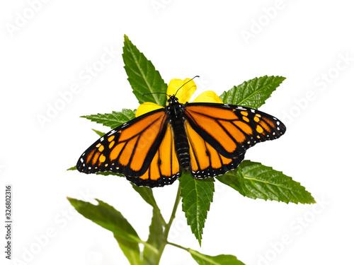 Vászonkép Monarch Butterfly, Danaus plexippus, on a yellow flower with green leaves