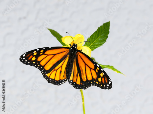 Fényképezés Monarch Butterfly, Danaus plexippus, on yellow flower with green leaves