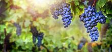 Vineyards Autumn Harvest. Fres...