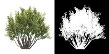 Left View Of Tree (Baccharis P...