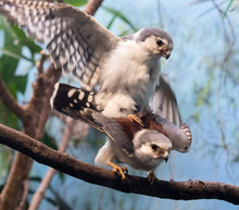 African Pygmy Falcons (Polihie...