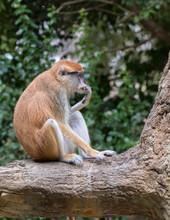 The Patas Monkey (Erythrocebus...