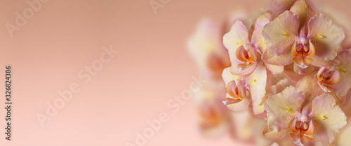 Fototapeta Panoramic background  with  pink orange orchid flowers and copy space. Phalaenopsis Legato peloric. obraz