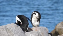 Two Penguins Preening Their Feathers And Resting On The Rocks
