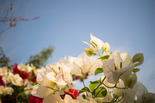 White Bougainvillea With Blue Sky Background