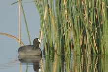 American Coot Water Bird Looking Down A Reflection.