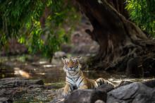 Ranthambore Wild Tiger Krishna...