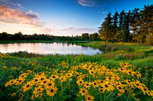 Summer Sunset Light On Black-eyed Susan Wildflowers And A Secluded Lake.
