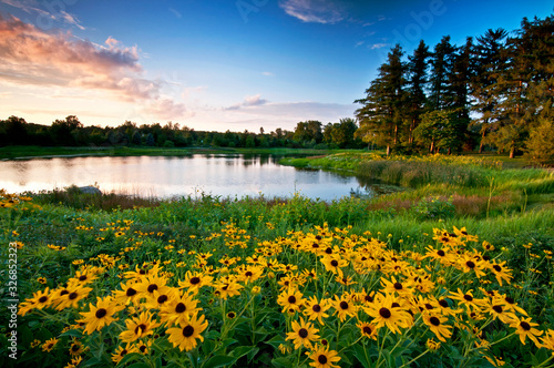 Obraz na plátne Summer sunset light on black-eyed susan wildflowers and a secluded lake