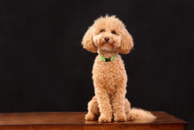 Poodle Small Dog In Studio Bla...