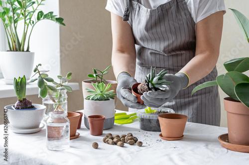 Fototapeta Woman hand transplanting succulent in ceramic pot on the table. Concept of indoor garden home. obraz