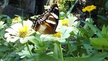 Beauty Brown Butterfly Sit On White Daisy Flowers On The Flower Field