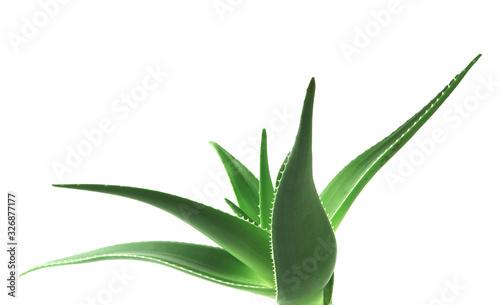 Aloe vera plant isolated on white background Fototapet