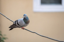 Colorful Pigeon Perched On Wir...