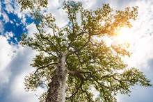 Perennial Sycamore Tree Against The Sky And Sun Beams