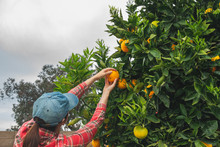 Woman Picking Oranges From Ora...