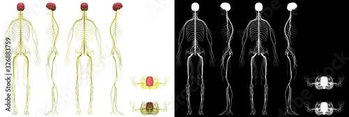 Fotografie, Obraz Human Anatomy Male Nervous System