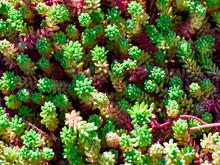 Flowers In The Garden. Green-pink Stems Of Spanish Sedum. Close-up. Background. Texture. Pattern. Evergreen Gold Moss Sedum.