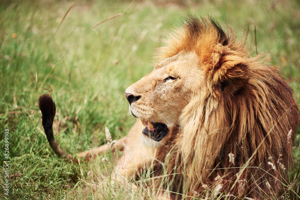 Fototapeta Close up of big lion in Africa