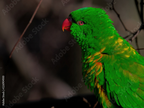 Fototapeta The superb parrot, Polytelis swainsonii, also known as Barraband's parrot, Barraband's parakeet, or green leek parrot