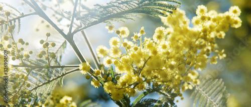 Bannière de fleurs de mimosa jaune dans l'arbre en contre-jour Poster Mural XXL