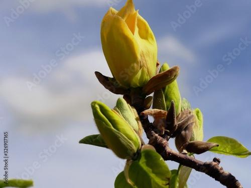 Bunch of yellow flower buds, upward shot, close up