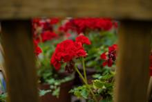 Soft Focus Poppy Red Flowers Rustic Folk Garden View Wooden Frame Work Foreground