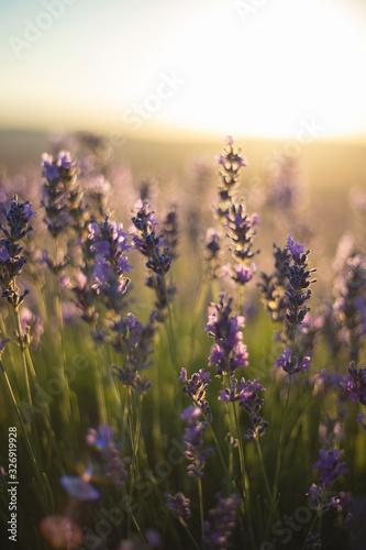 Fototapety, obrazy: lavender field in provence