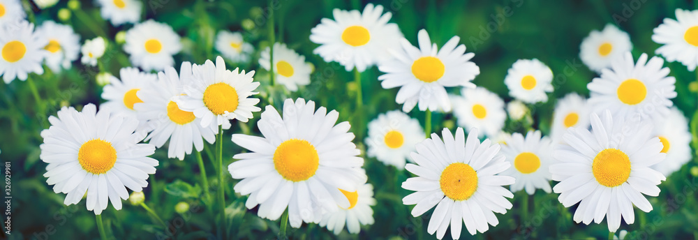 Fototapeta Nature Summer Background with chamomile flowers