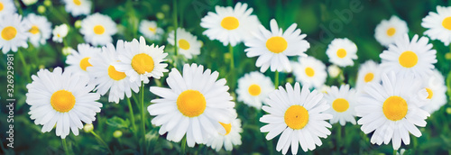 Fotografie, Obraz Nature Summer Background with chamomile flowers