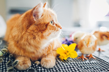 Easter Chicken Playing With Kind Cat. Little Brave Chicks Walking By Ginger Cat Among Flowers And Easter Eggs.