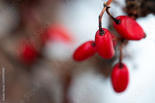 Photo Red barberry berries on the branch macro in winter