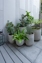 Beautiful Green Natural Trees In Pot Decorate The Gardening With Gray Wall And Wooden Floor Interior