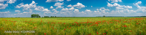 Fototapeta Panoramic view over grassland landscape with red meadow field of poppies and beautiful nature at Spring countryside, wide angle obraz